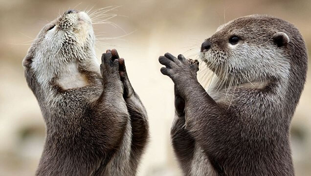 Vydry sú spirituálne zvieratá. Živý dôkaz. cvičenie všímavosti